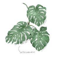 Philodendron leaf isolated on white background