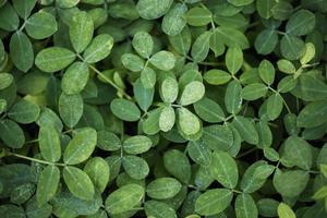 Nahaufnahme des grünen Blatthintergrundes