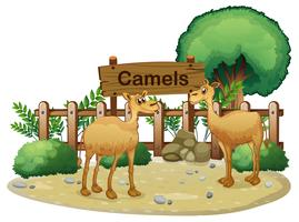 A signboard at the back of the two camels