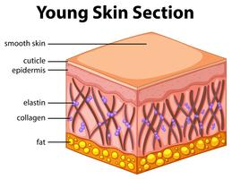 Diagram showing young skin section vector