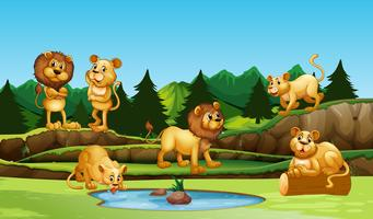 Group of lion in nature