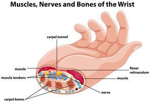 Diagram dat menselijke hand met spieren en zenuwen toont