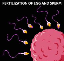 Diagram showing fertilization of egg and sperm