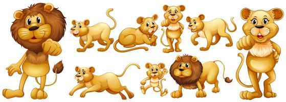 Conjunto de leones salvajes