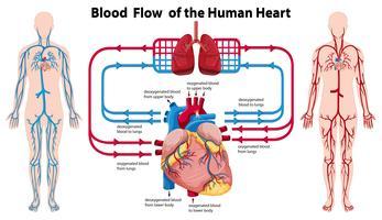 Diagramme montrant le flux sanguin du coeur humain vecteur