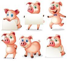 Cerdos con tablas en blanco