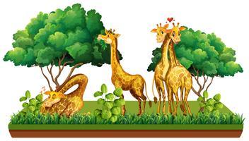 Group of giraffe in nature