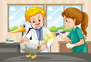 Veterinários que examinam a saúde de um pato
