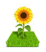 solros i det gröna gräset