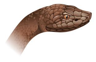 agkistrodon contortrix