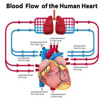 Diagram showing blood flow of human heart vector