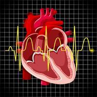 Mänskligt hjärta och diagram visar hjärtslag