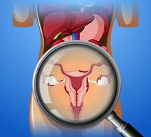 Female Reproductive System with magnifying glass vector