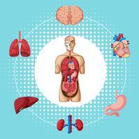 Mänskliga organ på blå bakgrund
