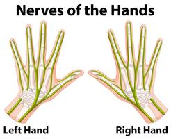 Diagram showing nerves of the hands vector