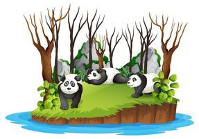 Panda i vild skog