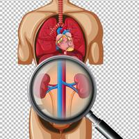 Healthy Human Kidney on Transparent Background