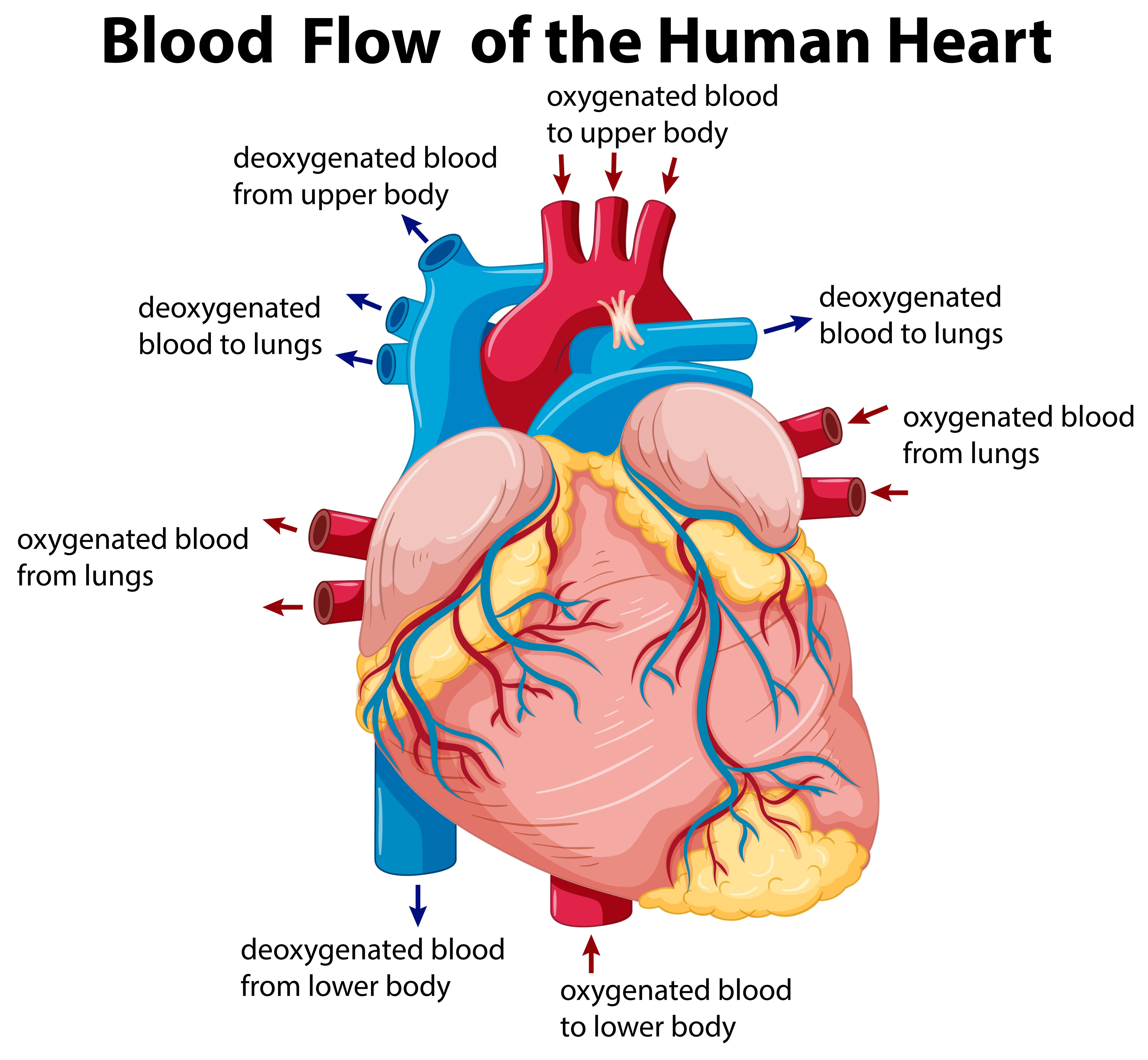 diagram showing blood flow in human heart - download free vectors, clipart  graphics & vector art  vecteezy