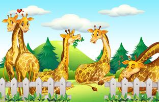 Giraffes in the safari