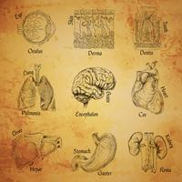 Menselijke organen schetsen