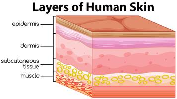 Layers of human skin concept vector