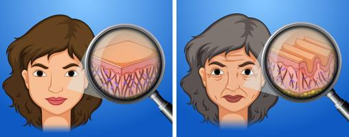 Female younger skin and aging skin vector