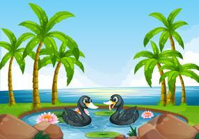 Zwei schwarze Enten im Teich