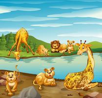 Scène avec des girafes et des lions au bord de la rivière