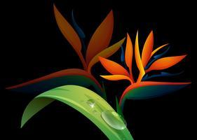 Paradiesvogel Blume auf schwarzem Hintergrund