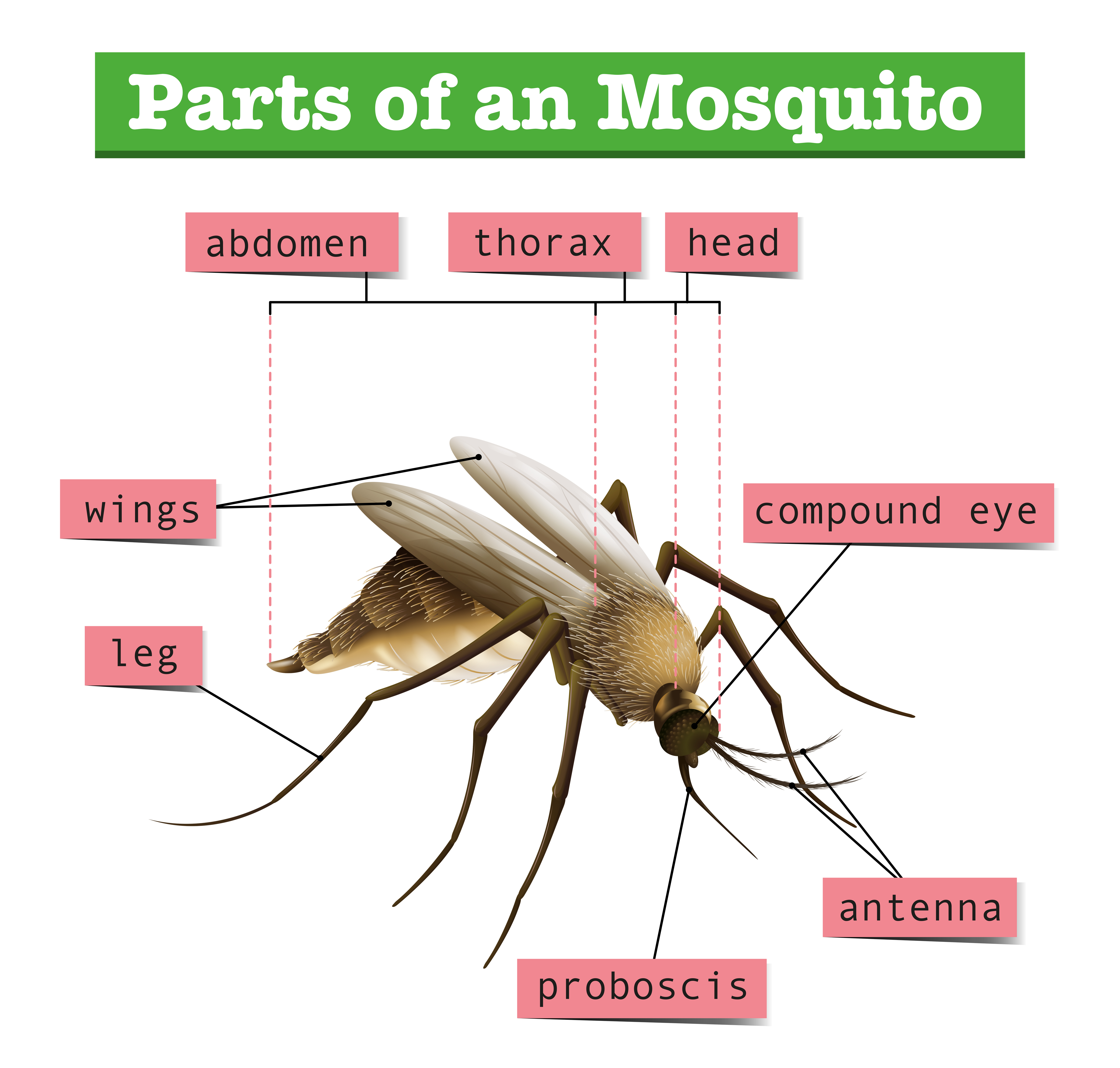 Different parts of mosquito - Download Free Vectors, Clipart