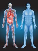 Anatomie des Menschen mit verschiedenen Organen