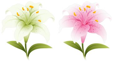 Two lily flowers in white and pink