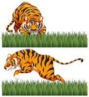 Zwei Szenen von wildem Tiger