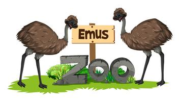 Two emus in the zoo
