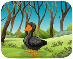 A black swan in nature background