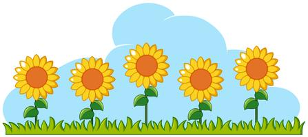Sunflowers in garden on white background