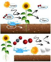 Diagram showing how plant grows