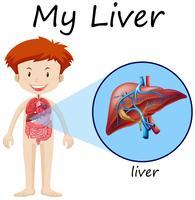 Menino, e, fígado, ligado, diagrama