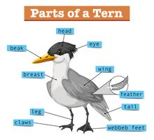 Diagram showing parts of tern