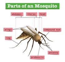 Diferentes partes do mosquito