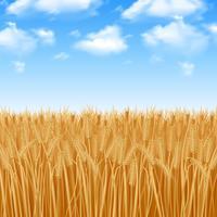 Fundo de campo de trigo