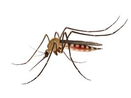 Mosquito realistic illustration