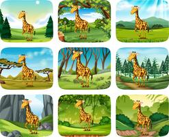 Set of giraffe scenes