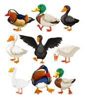 Set of duck character