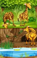 Three Giraffes In Jungle