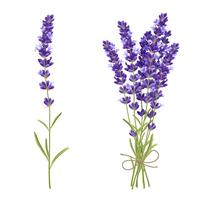 Lavender Cut Flowers Realistic Image  vector