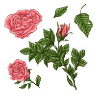 Ensemble de roses de corail. Main, dessin d'illustration vectorielle