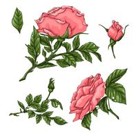 Set of coral roses. Hand drawing Vector illustration