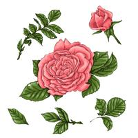 Set coral roses. Hand drawing Vector illustration