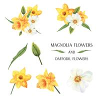 yellow Magnolia and Daffodil flowers bouquets  botanical florals llustration watercolor isolated vector